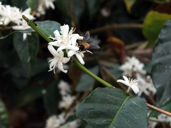 Honeybee on a coffee flower